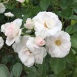 'Aspirin Rose' - Floribunda-Gruppen