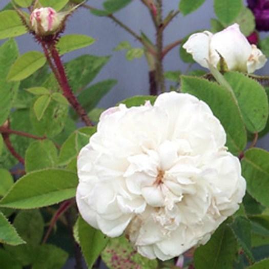 'Blanche Moreau' - Centifolia Muscosa-Gruppen