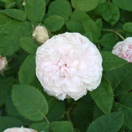 'Blanchefleur' - Centifolia-Gruppen