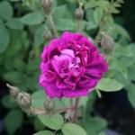 'Eugénie Guinoisseau' - Centifolia Muscosa-Gruppen
