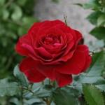 FARRUCA - Courtyardros - Storblommiga Klätterros-Gruppen