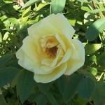 'Frühlingsgold' - Spinosissima-Gruppen