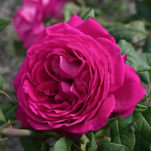 GOETHE ROSE