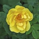 'Harison's Yellow' - Foetida-Gruppen