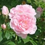 KIR ROYAL - Storblommiga Klätterros-Gruppen