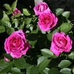KOLO - Courtyardros - Storblommiga Klätterros-Gruppen