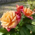 KORDES ROSE ALOHA - Storblommiga Klätterros-Gruppen