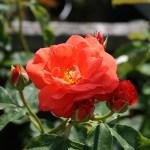 'Orange Sensation' - Floribunda-Gruppen