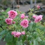 'Pink Grootendorst' - Rugosa-Gruppen