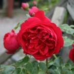 RED EDEN ROSE - Storblommiga Klätterros-Gruppen