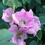 Rosa majalis - Vildros - Kanelros