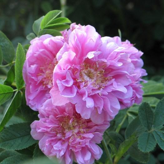 Rosa majalis 'Foecundissima'