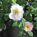 Rosa x richardii 'Sancta' - Vildros - Mumieros