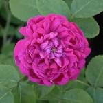 'Rose de Rescht' - Bifera-Gruppen