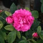 'Rose du Roi' - Portland-Gruppen
