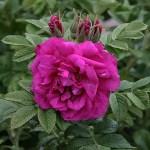 'Roseraie de l'Hay' - Rugosa-Gruppen