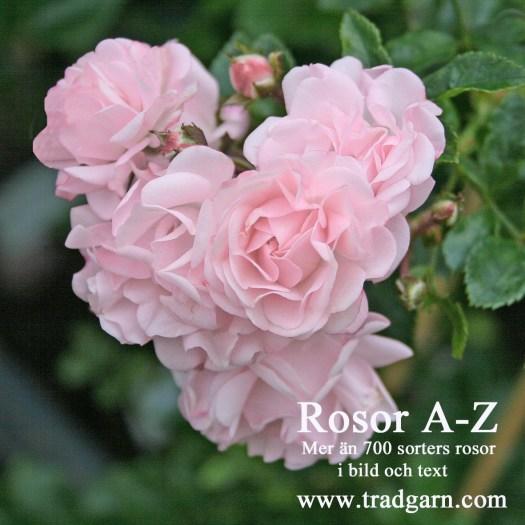 Rosor A-Z