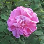 'Sweet Adeline' - Kanadensisk ros - Rugosa-Gruppen
