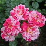 TWIST - Courtyardros - Storblommiga Klätterros-Gruppen