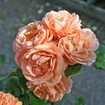 ZUMBA - Courtyardros - Storblommiga Klätterros-Gruppen