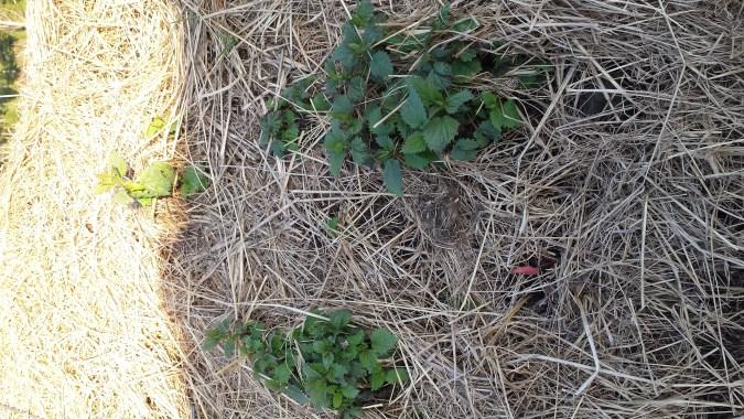 Springtime Nettles