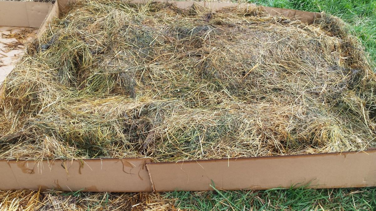 Growing potatoes in hay