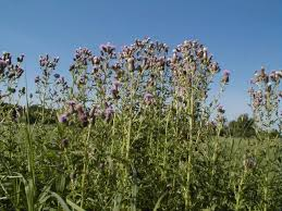 Organic control of Canadian Thistle