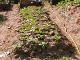 No-till, Deep mulch bed.