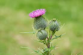 natural control of canadian thistle