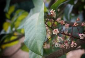 Thai Chestnut flowers with no logo