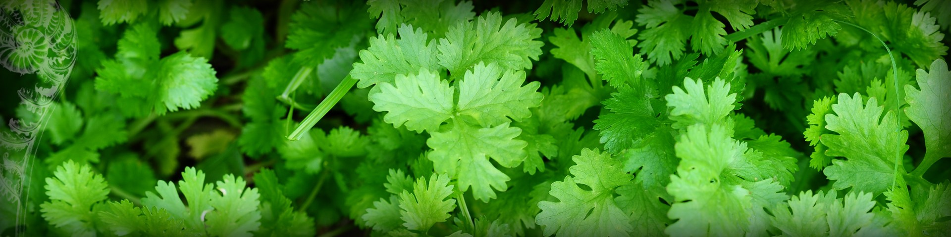 Header Image - ingredients - Land - Cultivated - Coriander - Chef Bee Satongun - Traditional Thai Food