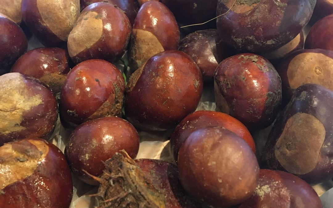 Foraging Fancies – Conkers