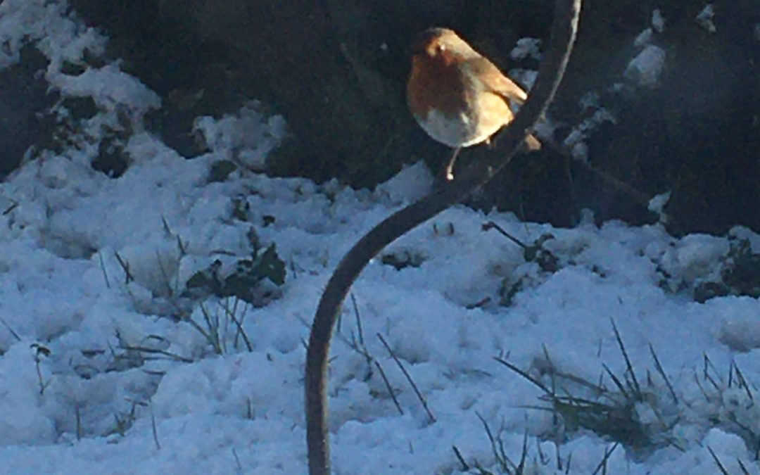 Twitching Tuesday – Robins
