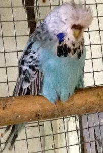 Opaline Blue Hen
