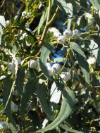 Macadamia tree with nuts