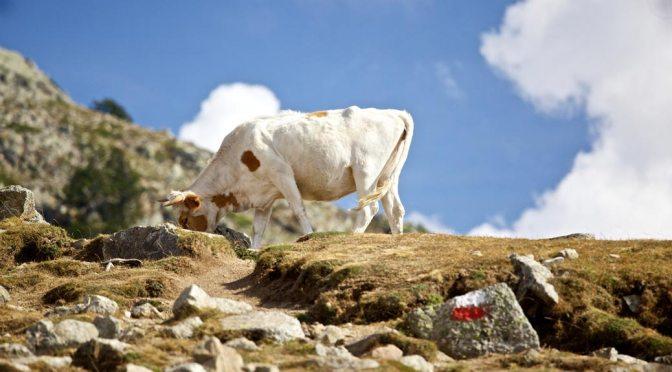 En ko græsser på GR20-ruten. I forgrunden ses rutemarkeringens hvide og røde stribe.