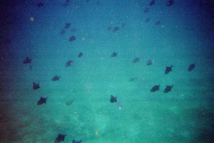 Swimming with a school of black fish. On our last day we swam with hundreds of them!