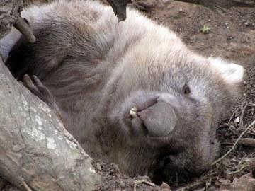 A sleepy wombat