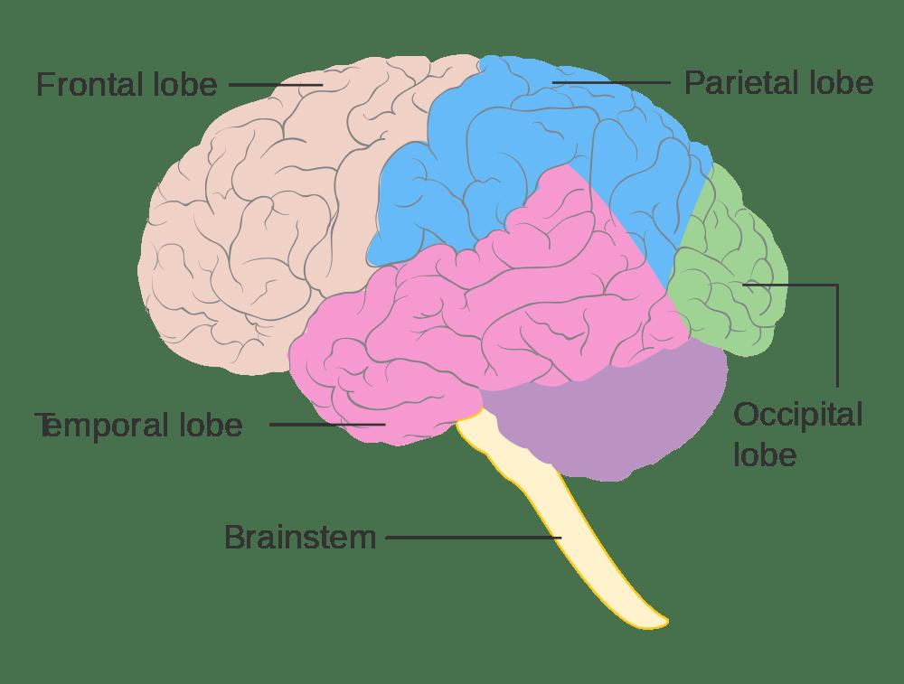 Brain Lobe Diagram