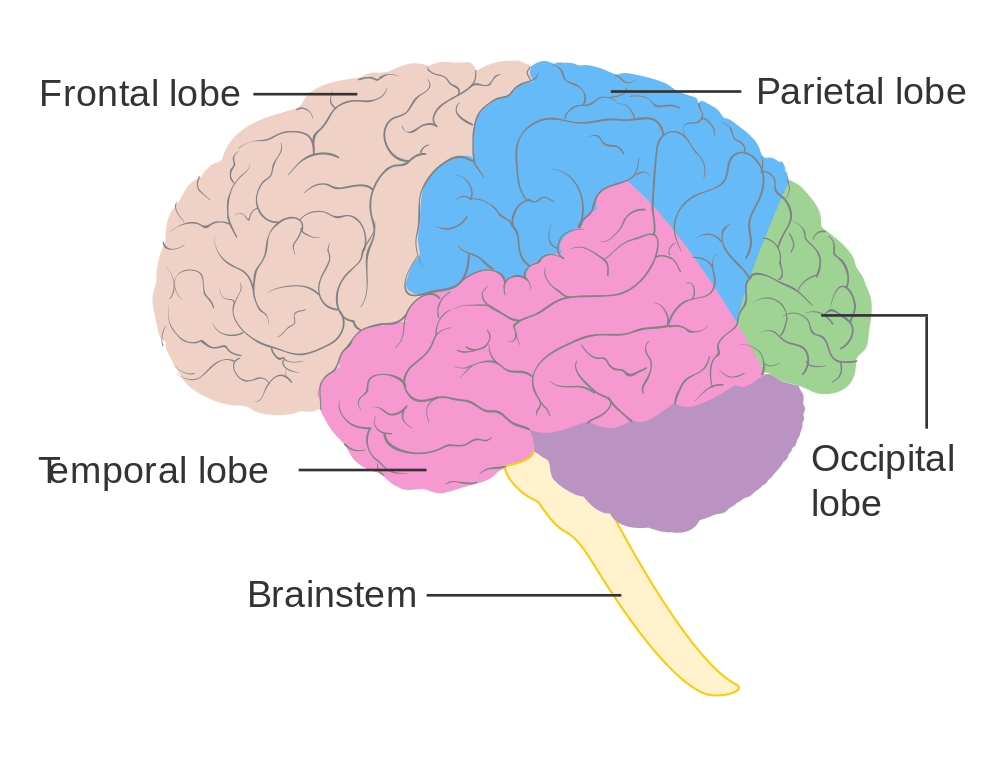 Brain Lobe Diagram
