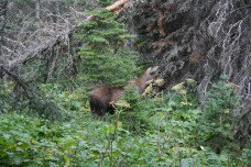 Mama moose with her calf right behind her