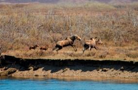 Wild Moose Chase