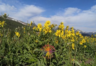Boreas Pass sunflowers rocky mountains