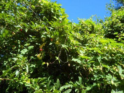 Miniäpfel und Hopfen
