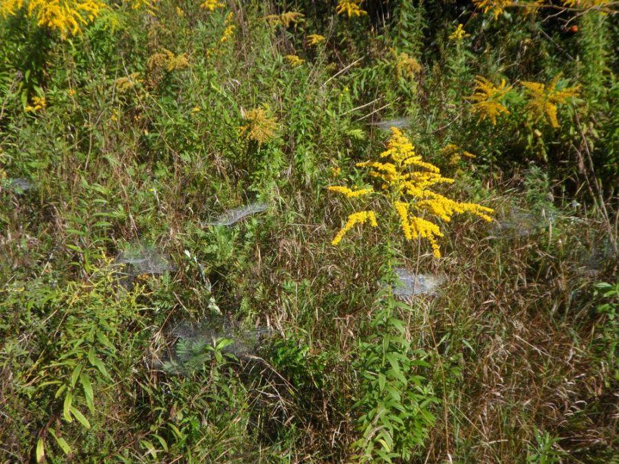 typische Spinnweben im Altweibersommer