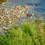 deer in purgatory river in colorado