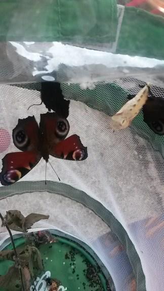 A beautiful Peacock butterfly, Aglais io.