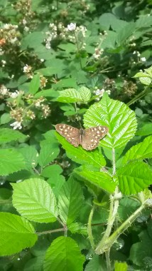 Speckled Wood, Pararge aegeria, at Clifton Woods LNR.