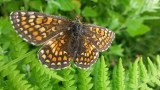 Marsh Fritillary, Euphydryas aurinia, in the cliff top meadow, nr Galizano, CAntabria. 5th September 2015, 12.42pm.