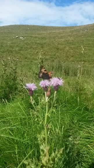 A tortoiseshell butterfly, Aglais urticae in the dales.